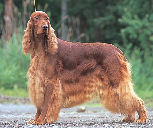わんこ教 大型犬